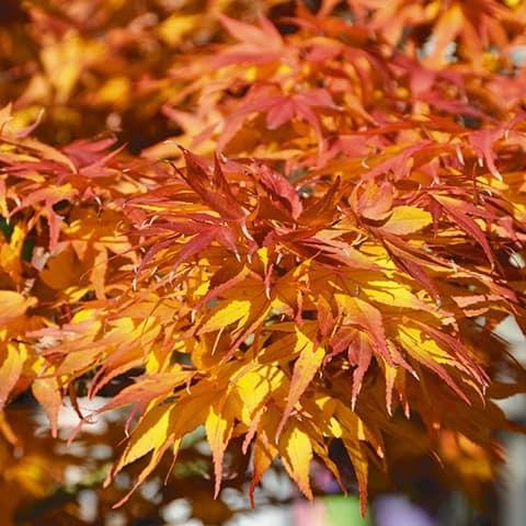 Acer-palmatum-Mikawa yatsubusa