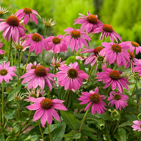 echinacea purpurea 39 powwow wild berry 39 sonnenhut. Black Bedroom Furniture Sets. Home Design Ideas