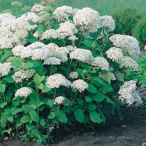 hydrangea arborescens 39 annabelle 39 strauchhortensie. Black Bedroom Furniture Sets. Home Design Ideas