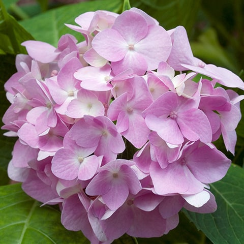 hydrangea macrophylla 39 endless summer 39 blaue endless. Black Bedroom Furniture Sets. Home Design Ideas