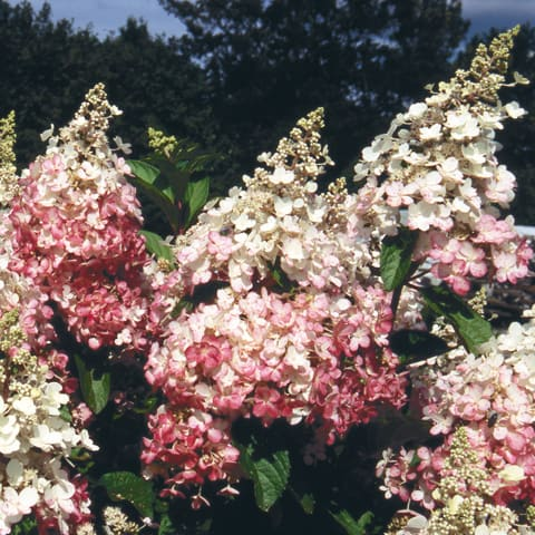 hydrangea paniculata 39 pinky winky 39 rispenhortensie. Black Bedroom Furniture Sets. Home Design Ideas