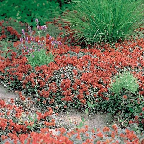 Acaena Microphylla Kupferteppich Stachelnüsschen Gärtnerei