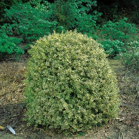 buxus sempervirens 39 argenteovariegata 39 buchsbaum. Black Bedroom Furniture Sets. Home Design Ideas