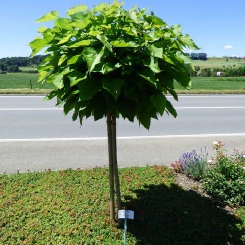 catalpa bignonioides 39 nana 39 kugel trompetenbaum. Black Bedroom Furniture Sets. Home Design Ideas