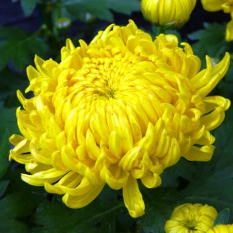 chrysanthemum x grandiflorum chrysantheme g rtnerei schwitter ag. Black Bedroom Furniture Sets. Home Design Ideas