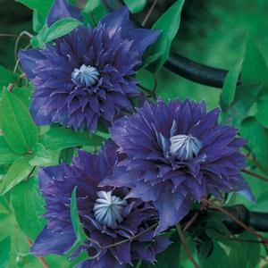 Floramedia_Clematis_Multi-blue_13006318