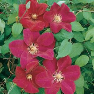 Floramedia_Clematis_Rouge-cardinal_13006300