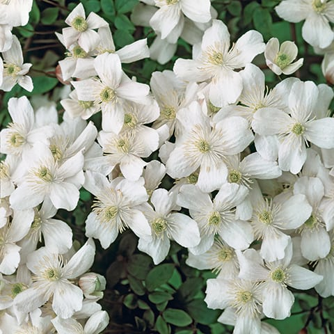 clematis montana 39 grandiflora 39 gebirgs waldrebe g rtnerei schwitter ag. Black Bedroom Furniture Sets. Home Design Ideas