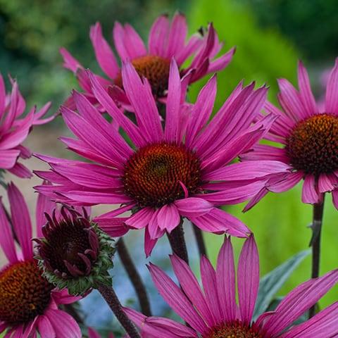 echinacea purpurea 39 fatal attraction 39 sonnenhut. Black Bedroom Furniture Sets. Home Design Ideas