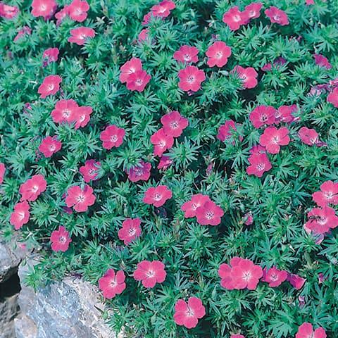 geranium sanguineum storchschnabel g rtnerei schwitter ag. Black Bedroom Furniture Sets. Home Design Ideas