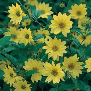 Mehrjährige Sonnenblume