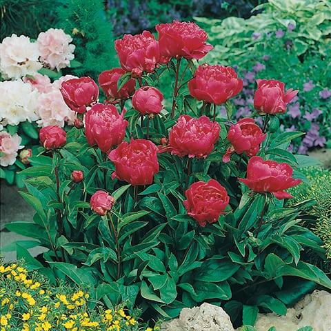 paeonia lactiflora gruppe 39 karl rosenfield 39 pfingstrose g rtnerei schwitter ag. Black Bedroom Furniture Sets. Home Design Ideas