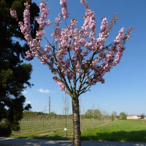 Prunus Serrulata Kanzan Japanische Blutenkirsche Nelkenkirsche