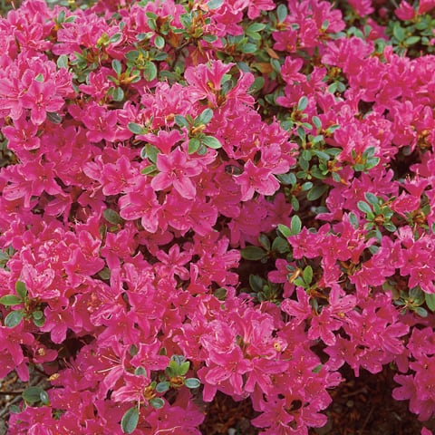 rhododendron obtusum hybriden 39 diamant rot 39 japanische. Black Bedroom Furniture Sets. Home Design Ideas