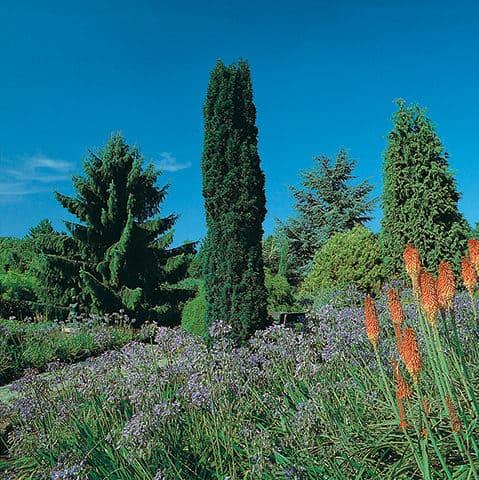 juniperus x media 39 mint julep 39 gr ner wacholder. Black Bedroom Furniture Sets. Home Design Ideas