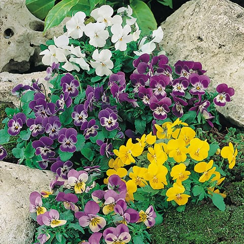 Viola cornuta hornveilchen g rtnerei schwitter ag for Viola cornuta inverno