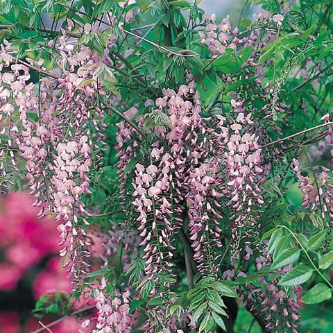 wisteria floribunda 39 rosea 39 langtraubige glyzinie g rtnerei schwitter ag. Black Bedroom Furniture Sets. Home Design Ideas