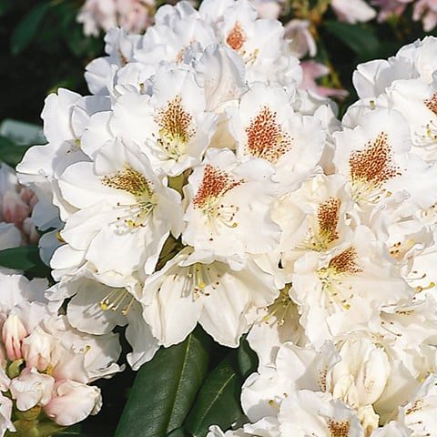 rhododendron yakushimanum hybriden 39 apollonia 39 zwerg rhododendron g rtnerei schwitter ag. Black Bedroom Furniture Sets. Home Design Ideas