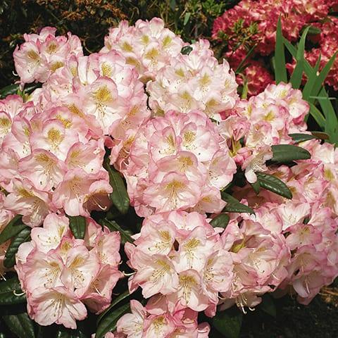 rhododendron hybriden 39 brigitte 39 grossblumiger. Black Bedroom Furniture Sets. Home Design Ideas