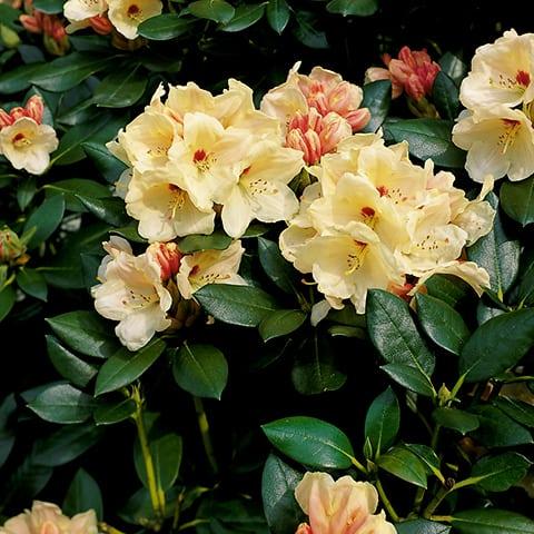 rhododendron fastigiatum 39 blue steel 39 rhododendron. Black Bedroom Furniture Sets. Home Design Ideas