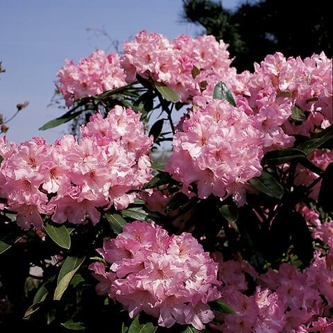 rhododendron hybriden 39 bellefontaine 39 grossblumiger. Black Bedroom Furniture Sets. Home Design Ideas