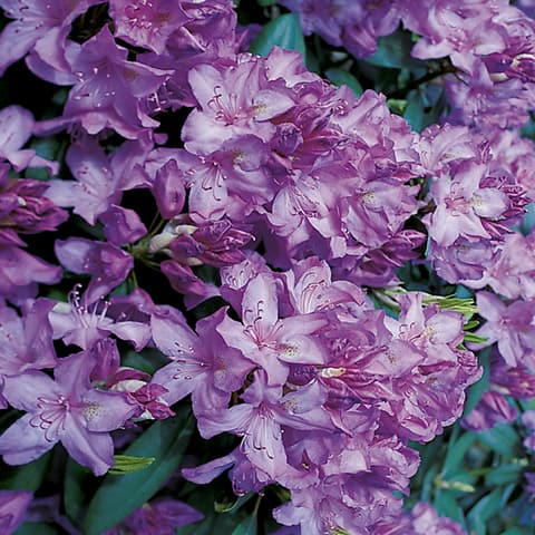 rhododendron hybriden 39 catawbiense boursault. Black Bedroom Furniture Sets. Home Design Ideas