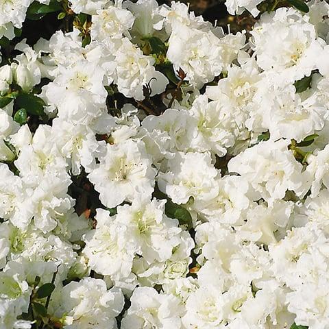 rhododendron obtusum hybriden 39 eisprinzessin. Black Bedroom Furniture Sets. Home Design Ideas