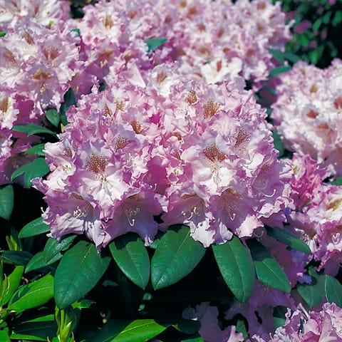 rhododendron yakushimanum hybriden 39 ernest inman 39 zwerg. Black Bedroom Furniture Sets. Home Design Ideas