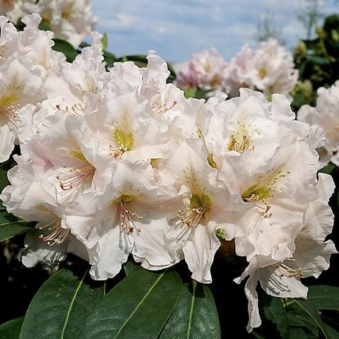rhododendron hybriden 39 eskimo 39 grossblumiger. Black Bedroom Furniture Sets. Home Design Ideas