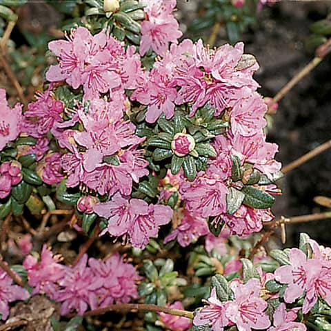rhododendron hippophaeoides 39 fl mingperle 39 rhododendron. Black Bedroom Furniture Sets. Home Design Ideas