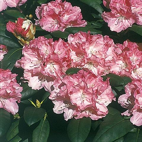rhododendron yakushimanum hybriden 39 fr hlingsanfang 39 zwerg rhododendron g rtnerei schwitter ag. Black Bedroom Furniture Sets. Home Design Ideas