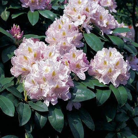 rhododendron hybriden 39 genoveva 39 grossblumiger. Black Bedroom Furniture Sets. Home Design Ideas