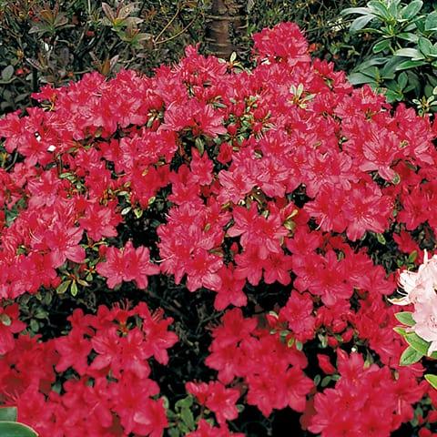 rhododendron yakushimanum hybriden 39 barbarella 39 zwerg rhododendron g rtnerei schwitter ag. Black Bedroom Furniture Sets. Home Design Ideas
