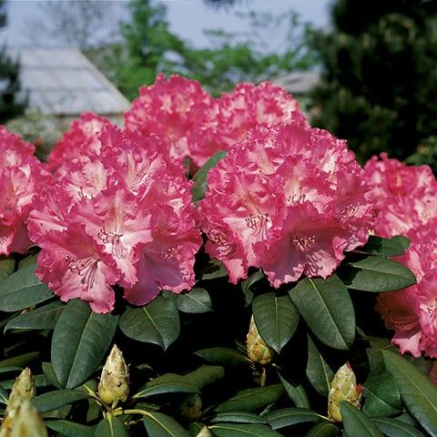 rhododendron hybriden 39 germania 39 grossblumiger. Black Bedroom Furniture Sets. Home Design Ideas