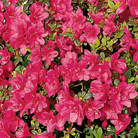 rhododendron obtusum hybriden 39 gislinde 39 japanische. Black Bedroom Furniture Sets. Home Design Ideas
