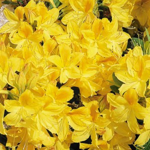Rhododendron 'Goldtopas'