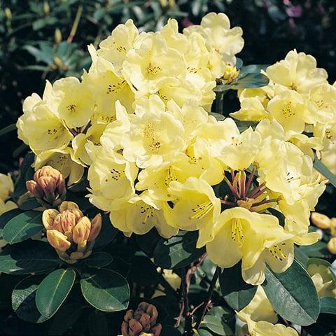 rhododendron hybriden 39 graf lennart 39 grossblumiger. Black Bedroom Furniture Sets. Home Design Ideas