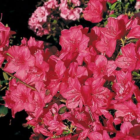 rhododendron obtusum hybriden 39 hahn 39 s red 39 japanische. Black Bedroom Furniture Sets. Home Design Ideas