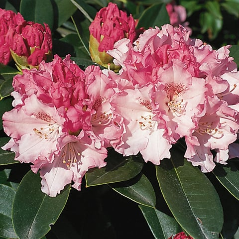 rhododendron yakushimanum hybriden 39 heinje 39 s zauberfl te 39 zwerg rhododendron g rtnerei. Black Bedroom Furniture Sets. Home Design Ideas