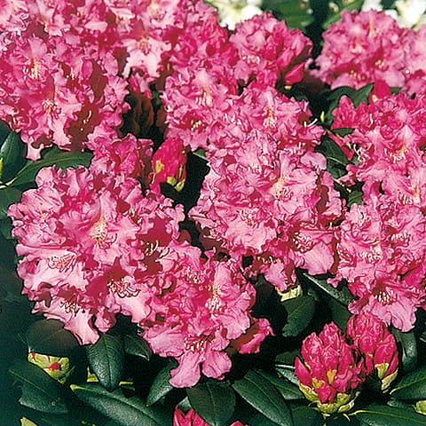 rhododendron yakushimanum hybriden 39 helgoland 39 zwerg rhododendron g rtnerei schwitter ag. Black Bedroom Furniture Sets. Home Design Ideas