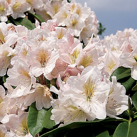 rhododendron hybriden 39 james burchett 39 grossblumiger. Black Bedroom Furniture Sets. Home Design Ideas