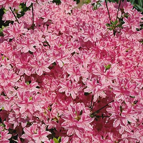 rhododendron obtusum hybriden 39 kermesina ros. Black Bedroom Furniture Sets. Home Design Ideas
