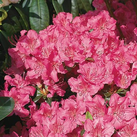Rhododendron Obtusum-Hybriden 'Kirstin' / Japanische Azalee