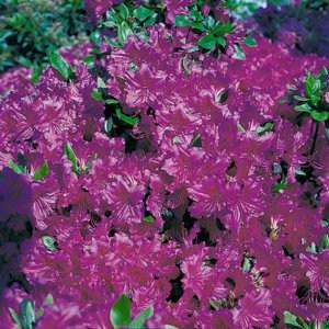 Rhododendron Obtusum Königstein