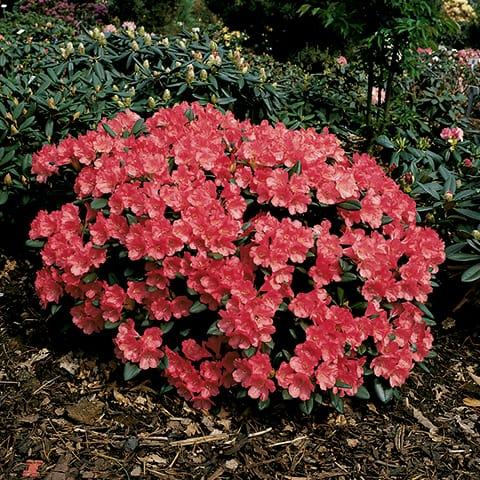 rhododendron yakushimanum hybriden 39 lampion 39 zwerg. Black Bedroom Furniture Sets. Home Design Ideas