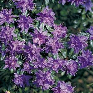 Rhododendron 'Lauretta'