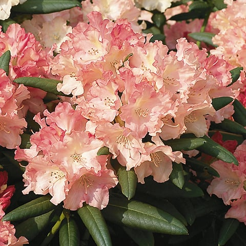 rhododendron yakushimanum hybriden 39 loreley 39 zwerg rhododendron g rtnerei schwitter ag. Black Bedroom Furniture Sets. Home Design Ideas
