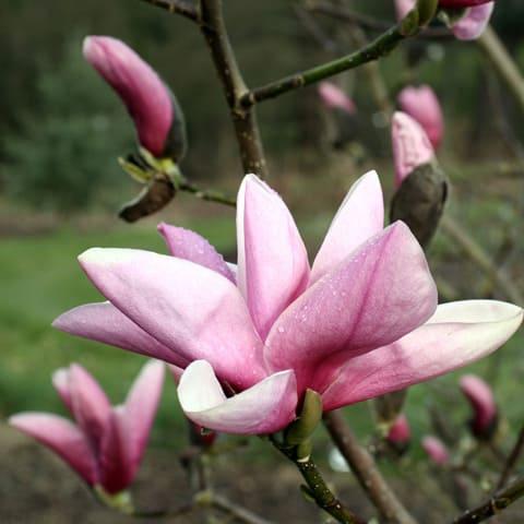 magnolia 39 star wars 39 magnolie g rtnerei schwitter ag. Black Bedroom Furniture Sets. Home Design Ideas