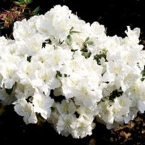 Rhododendron Obtusum Maischnee