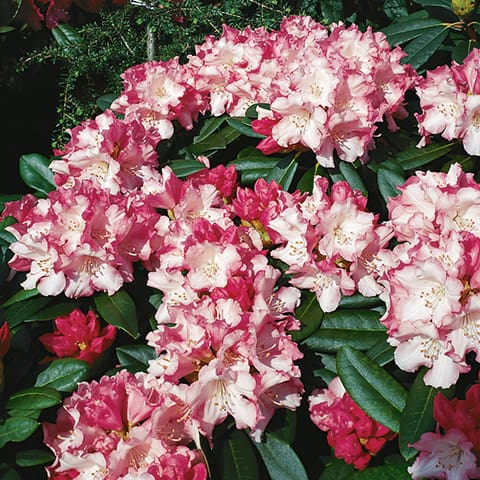 rhododendron yakushimanum hybriden 39 mardi gras 39 zwerg rhododendron g rtnerei schwitter ag. Black Bedroom Furniture Sets. Home Design Ideas